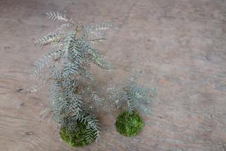 コモレビ草の手入れ後の苔玉