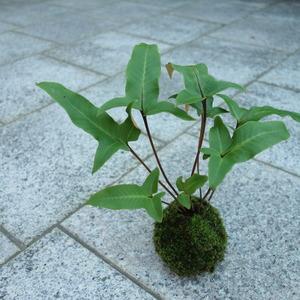オモダカの苔玉