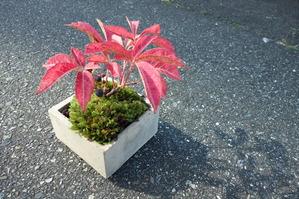 アメリカツタの苔盆栽