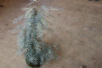 コモレビ草の手入れ前の苔玉