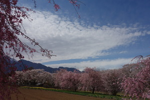 槇原の桜並木