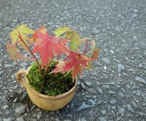 もみじの苔盆栽