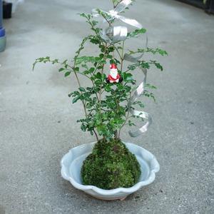 トネリコのクリスマスツリーの苔玉