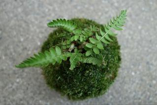 イワテンダの苔玉