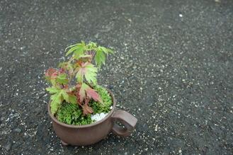 もみじ(七変化)の苔の寄せ植え