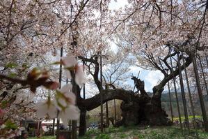 日本最古のエドヒガン桜