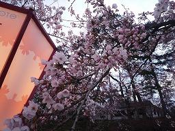 小-弘前桜まつり2010 049