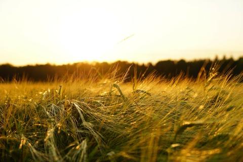 barley-1117282_1920