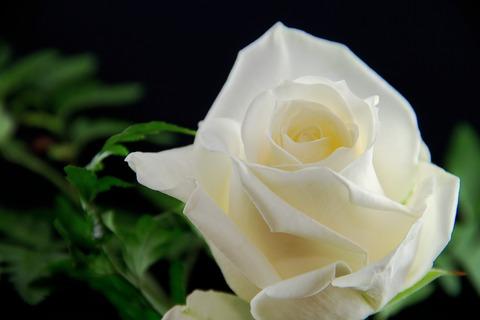 rose-3089673_1920