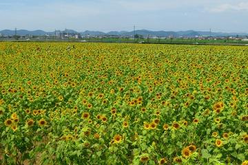 himawarinooka20200721-01