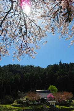 13hyakunensakura20210407
