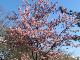河津桜、満開