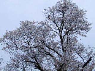 自宅の山桜の開花