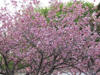 八重桜(その2)