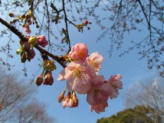 気の早い河津桜
