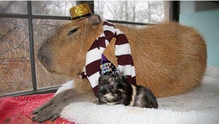 a98755_capybara
