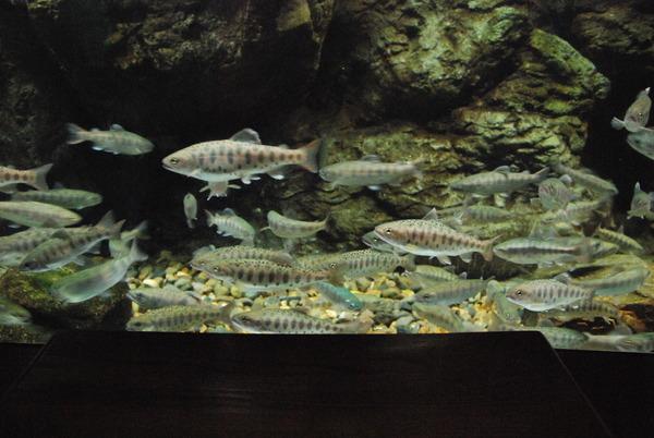 山梨県立富士湧水の里水族館 (16)