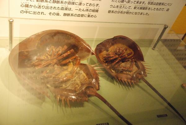 カブトガニ博物館 (30)