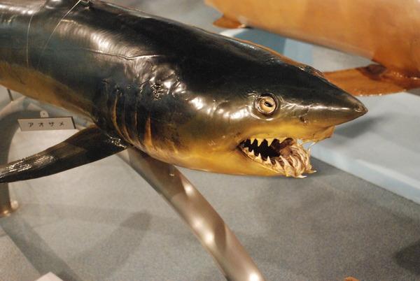 日本一の魚の剥製水族館 (13)