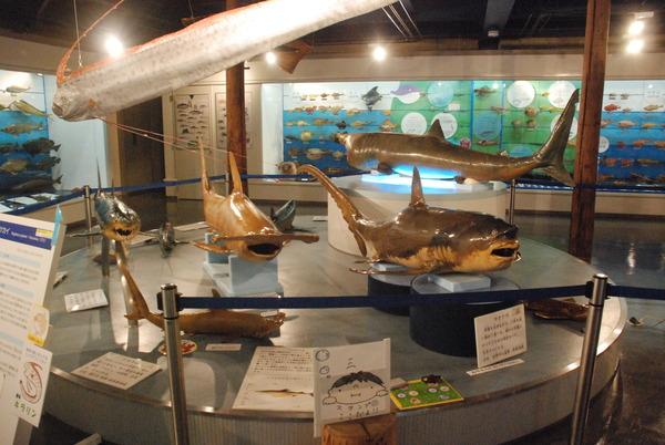 日本一の魚の剥製水族館 (12)