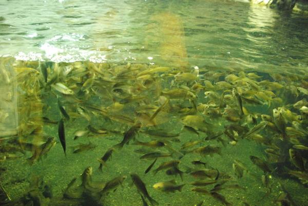 山梨県立富士湧水の里水族館 (13)