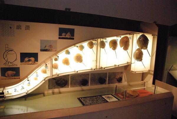 カブトガニ博物館 (32)