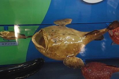 日本一の魚の剥製水族館 (20)