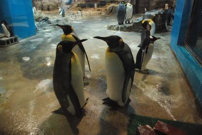 長崎ペンギン水族館 (13)