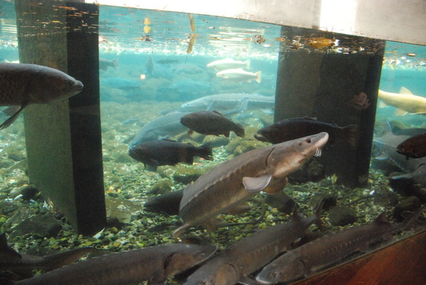 山梨県立富士湧水の里水族館 (9)