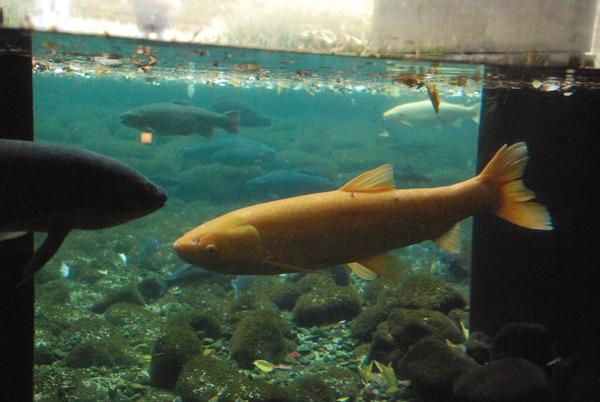 山梨県立富士湧水の里水族館 (10)