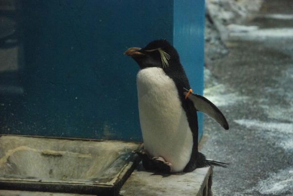 長崎ペンギン水族館 (12)
