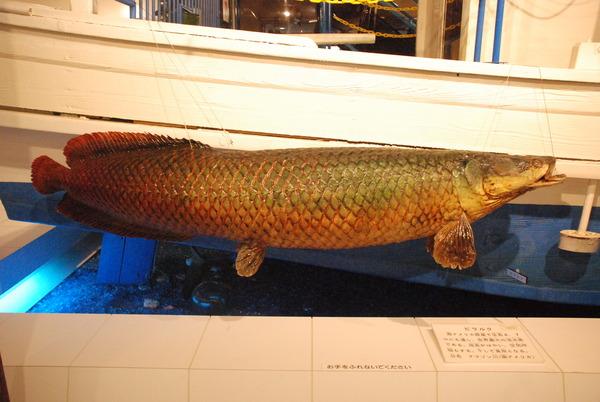 日本一の魚の剥製水族館 (29)