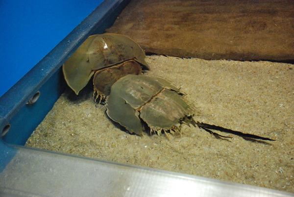 長崎ペンギン水族館 (10)