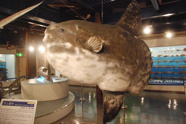 日本一の魚の剥製水族館 (10)