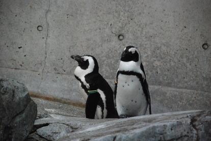 長崎ペンギン水族館 (22)