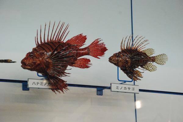 日本一の魚の剥製水族館 (21)