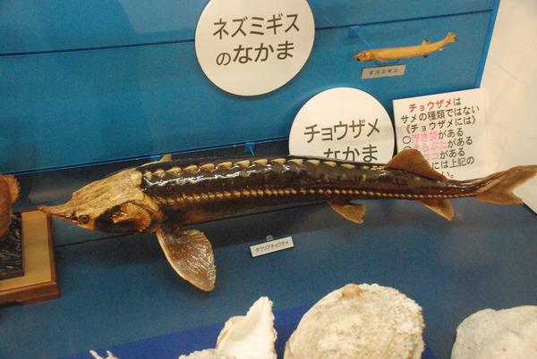 日本一の魚の剥製水族館 (23)