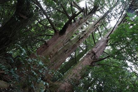 1810 関ヶ原 自害峯の三本杉