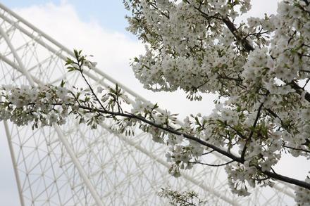 130326 神戸の桜