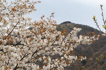 1904 箱根 宮城野桜まつり 02