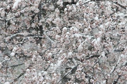 20200329 雪桜02