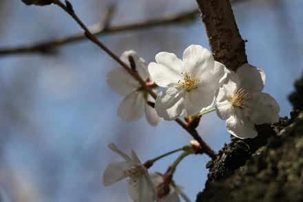 2003 近所の桜03