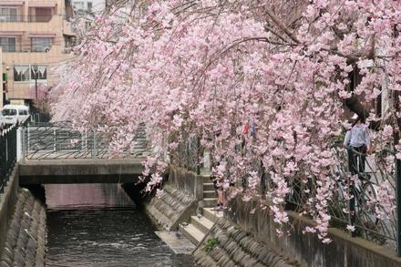 130323二ヶ領用水の桜 12