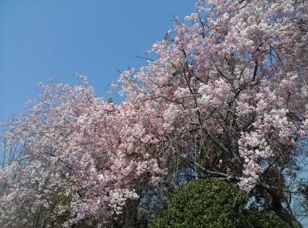140409桜01