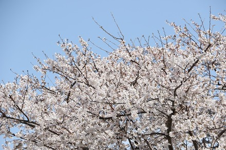 2003 近所の桜09