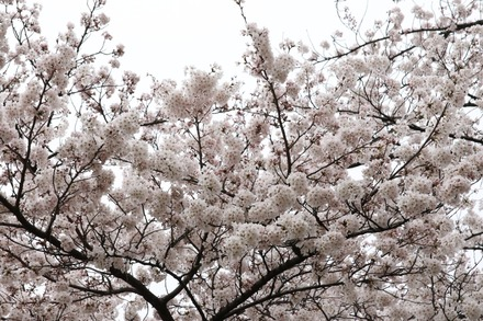150329桜01
