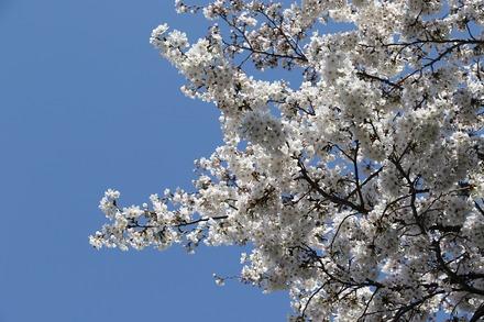 180325桜 01