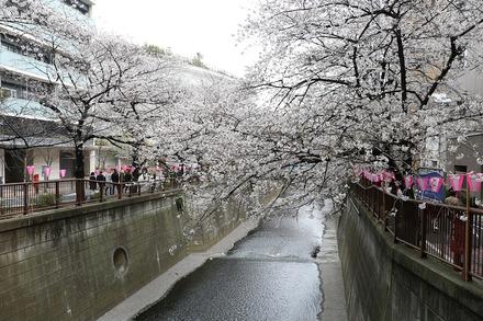190330 目黒川の桜01