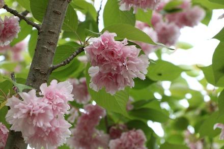 170503 あしかがフラワーパーク 八重桜