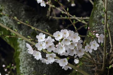 150328 夜桜02